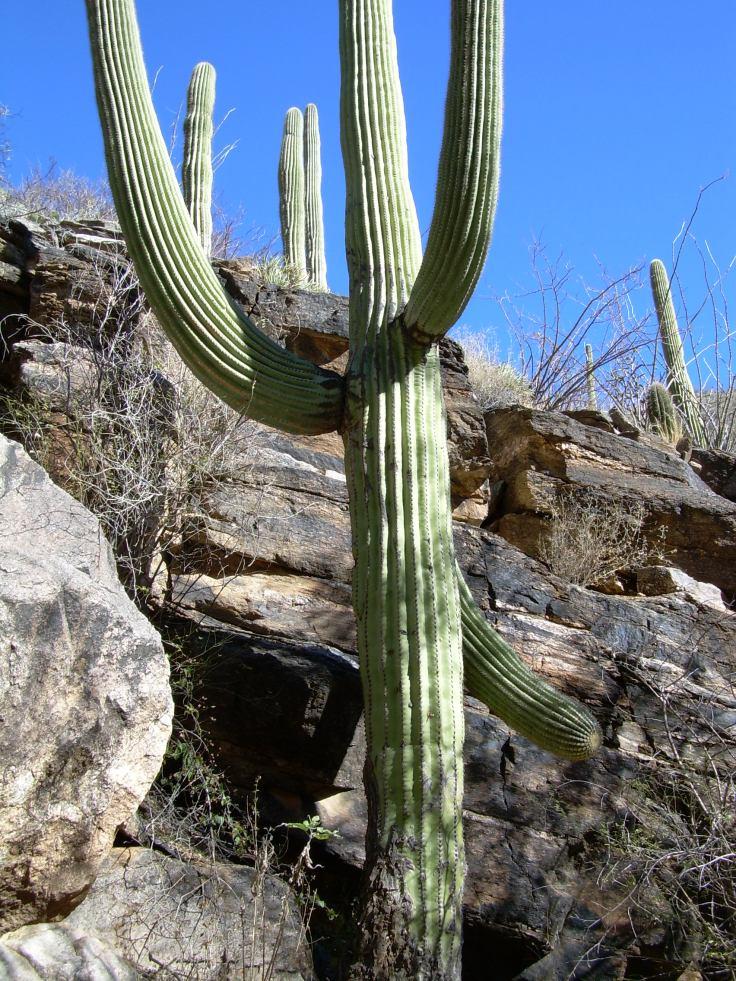 Tucson Cactus - Arizona