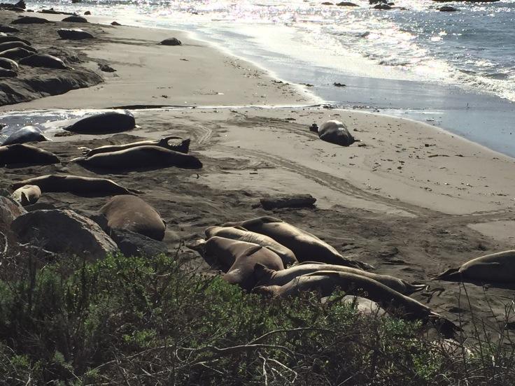 elephant-seal-stifles-a-yawn