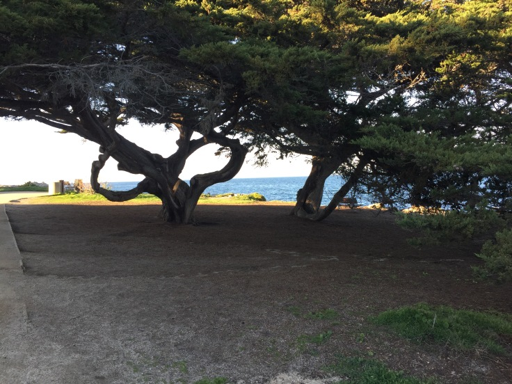 trees-of-monterey